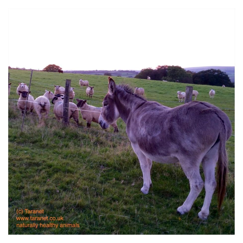 Donkey with Sheep